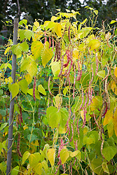 Borlotti beans showing yellowing leaves so ready to be picked for drying