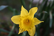 The daffodil, such a simple flower, yet so very beautiful.
