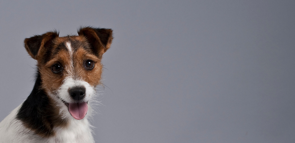 Closeup of smiling Jack Russell Terrier with space for copy