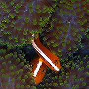 Skunk anemonefish, Amphiprion sandaracinos, at Maratua Island, Kalimantan, Indonesia.