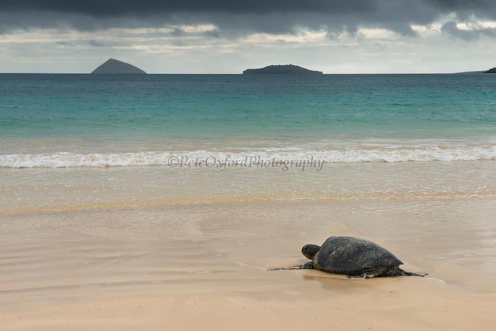Galapagos Green Sea Turtle (Chelonia mydas agassizi) Nesting Female<br /> Floreana Island<br /> GALAPAGOS ISLANDS,<br /> Ecuador, South America<br /> Endemic Subspecies