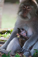 Monkey mother and baby at a temple near Tabanan, Bali, Indonesia