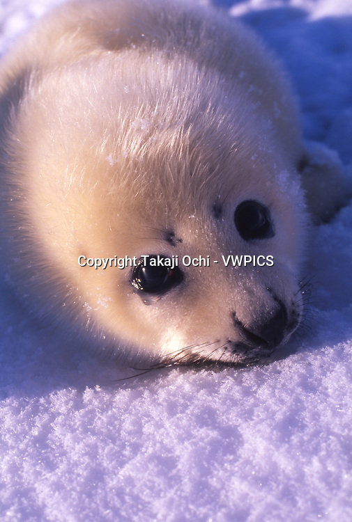 A harp seal pup crying. Gulf of St. Lawrence, Canada