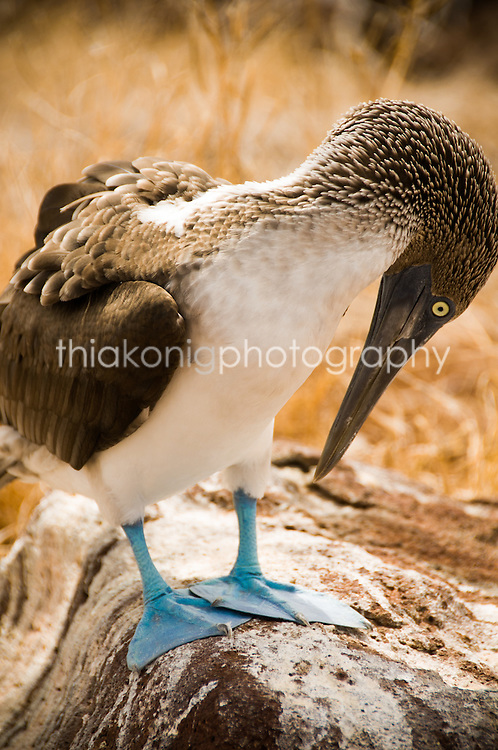 Blue footed boobie staring in surprise at his blue feet, Galapagos Islands.