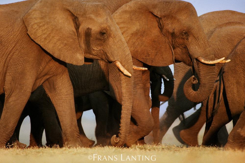 African elephants, Loxodonta africana, Chobe National Park, Botswana