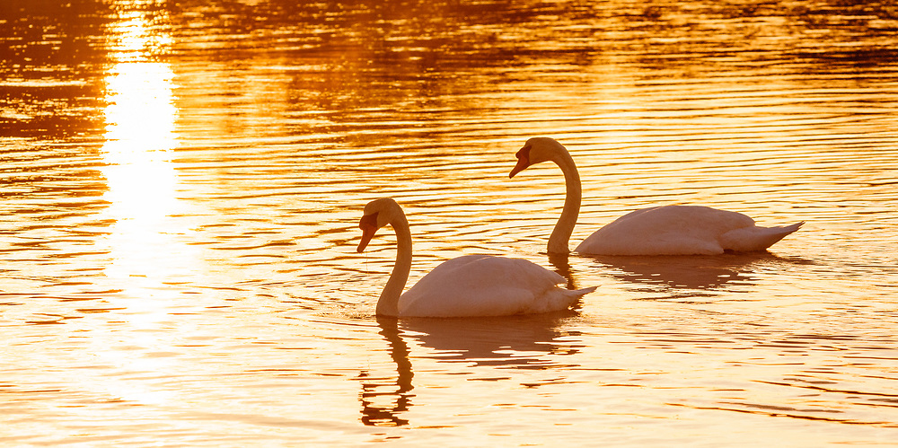 Swans, Dam Pond Preserve, East Marion, New York, Long Island
