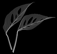X-ray image of Swiss cheese philodendron leaves (Monstera obliqua, white on black) by Jim Wehtje, specialist in x-ray art and design images.