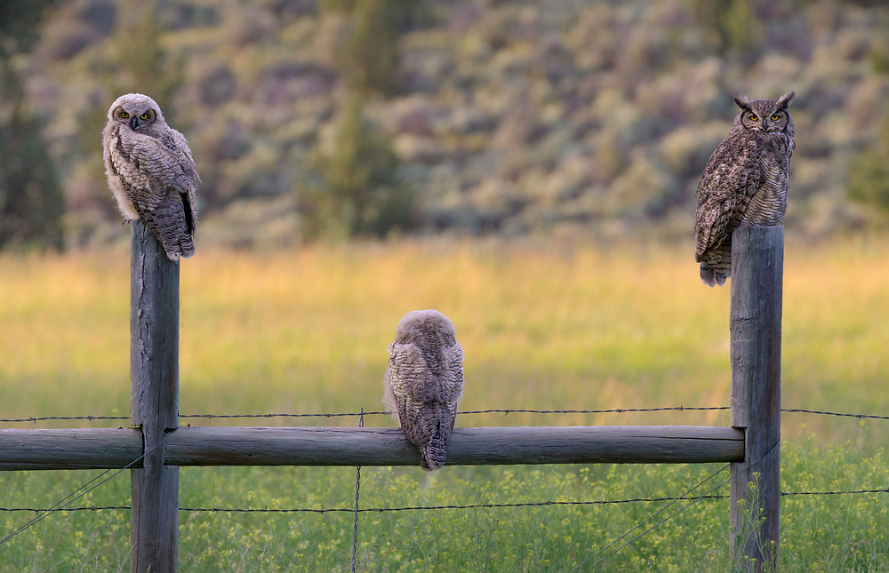 A great horned owl perches and on a post and pole farm fence with her two owlets, in central Oregon.