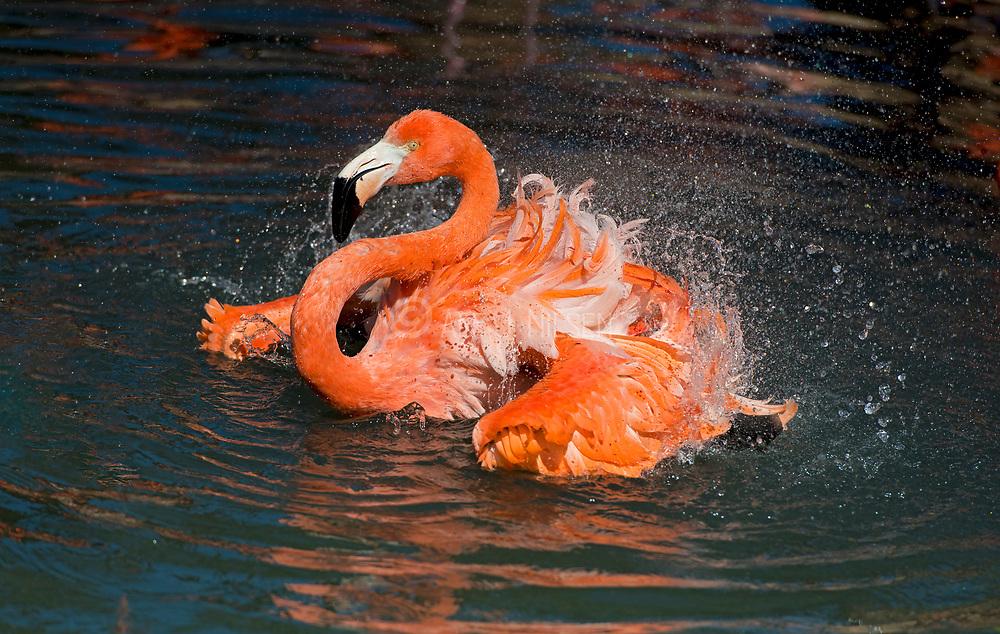 American flamingo (Phoenicopterus ruber) from Wildlife World Zoo, Phoenix, ASrizona, USA