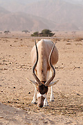 Israel, Aravah, The Yotvata Hai-Bar Nature Reserve breeding and reacclimation centre. Addax (Addax nasomaculatus) critically endangered desert antelope, Extinct in the wild in Israel