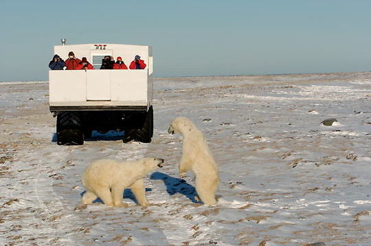 Polar Bear (Ursus maritimus) Tourists watching polar bears from a Tundra Buggy vehicle in safety. Hudson Bay. Churchill, Manitoba. Canada. Winter.
