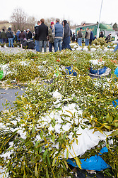 Bundles of snow covered mistletoe for sale at the market in Tenbury Wells, Worcestershire. Viscum album