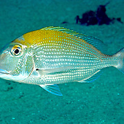 Sheepshead Porgy hover above reefs and adjacent sand areas in Tropical West Atlantic; picture taken Tobago.