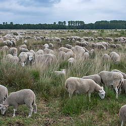 Ovelha (Ovis aries) fotografado na Alemanha. Registro feito em 2019.<br /> ⠀<br /> ⠀<br /> <br /> <br /> <br /> <br /> <br /> ENGLISH: Sheep photographed in Germany, in Europe. Picture made in 2019.