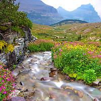 mimulus guttatus, monkey flowers alpine stream, glacier national park