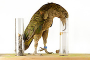 [captive] In this experiment, the Kea (Nestor notabilis) is presented three tubes filled with water, large or small stones. The Kea learns to drop stones into the tube filled with water until the water level has risen high enough for the Kea to pick up a nut. The picture was taken in cooperation with the University of Vienna (UniVie) and University of Veterinary Medicine Vienna (VetMed). Sequence 3/16. | In diesem Experiment werden dem Kea (Nestor notabilis) drei Röhrchen präsentiert, die entweder mit Wasser, kleinen oder großen Steinchen gefüllt sind. Der Kea wirft gezielt Steine in die Säule mit Wasser, bis die darin befindliche Nuss hoch genug schwimmt, um vom Kea erreicht zu werden. Das Bild wurde in Zusammenarbeit mit der Veterinärmedizinischen Universität Wien und der Universität Wien erstellt. Sequenz 3/16.