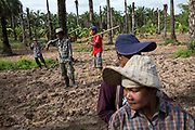 Members of the Klong Sai Pattana community take part in a communal planting session to plant corn on what was a palm oil plantation.<br /> <br /> Since 2008, this community of around 70 families have been embroiled in a conflict with a palm oil company that locals allege has been trying to violently evict them. Since 2010, four members of the community have been shot dead and a fifth shot, but survived.<br /> <br /> For decades the palm oil company Jiew Kang Jue Pattana Co., Ltd has illegally occupied and cultivated palm oil trees on a 535-acre plot of land in the Chai Buri District of Surat Thani Province. <br /> <br /> The company operated with no official legal documentation or land concession, until the Southern Peasant's Federation of Thailand (SPFT), who supports the community, began investigating them and collecting evidence.<br /> <br /> This evidence ultimately lead to a Supreme Court ruling against the company for illegal trespassing and land encroachment. But the community still struggles to remain on the land to this day with the last shooting happening in April 2016, years after the court case was won.