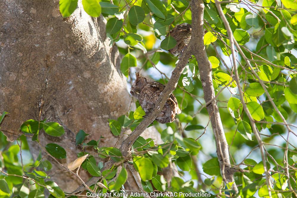 Pacific screech owl, Megascops cooperi, Guanacaste, Costa Rica