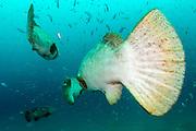 Goliath Grouper, Epinephelus itajara, and Cigar Minnows, Decapterus punctatus, swim near the shipwreck of the Mispah offshore Singer Island, Florida, United States. Fish displaying breeding coloration.