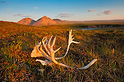 Caribou antlers on the tundra near the Canning River as it flows out of the  Brooks Range in the Arctic National Wildlife Refuge, Alaska
