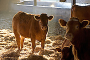Cows  at Sheepdrove Organic Farm, Lambourn, England