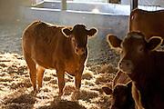 Cows  at Sheepdrove Organic Farm, Lambourn, England