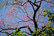 Aquidauana_MS, Brasil...Arvore florida da Fazenda Rio Negro no Pantanal...The flower tree in Rio Negro farm in Pantanal...Foto: JOAO MARCOS ROSA / NITRO
