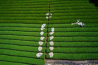 Japon, île de Honshu, région de Kansaï, Uji, champs de thé, culture du thé Sencha, Gyokuro et Matcha, recolte du thé // Japan, Honshu island, Kansai region, Uji, tea field for Sencha, Gyokuro and Matcha tea, picking tea