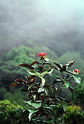 Cloud forest on slopes of Mt. Kinabalu, Sabah, Borneo, Malaysia. Flower unknown.