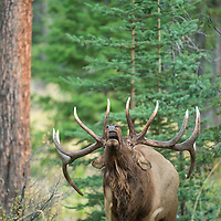 mature bull elk head rocked back bugling agressive behaviour