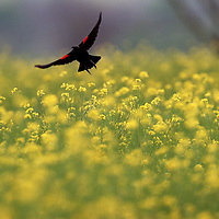 A redwing blackbird takes flight over a field of wild mustard at Shakertown  at Pleasant Hill, Ky., on 4/20/98.    Keyword: Dr. Thomas Clark's list of  Kentucky top ten places