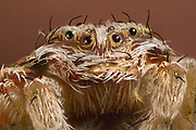 Detailed portrait of a tiny spider. Western Oregon.