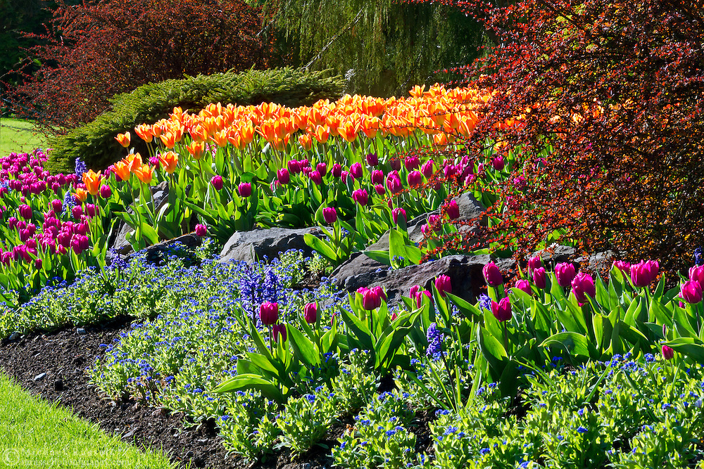 Spring Tulips flowering in the gardens at Queen Elizabeth Park in Vancouver, British Columbia, Canada