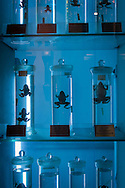 Frogs preserved in fluid at the natural history museum in Beijing, China