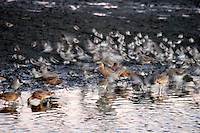 Waterfowl Feeding at Twilight, Bolsa Chica Ecological Reserve, Huntington Beach, California