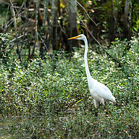 A Great Egret in the Alligator National Reserve in the Outer Banks, North Carolina, USA