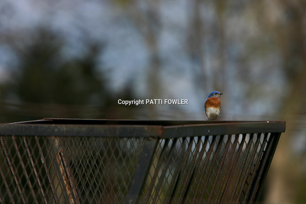 Bluebird on cattle feeder