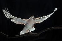 Ringneck Dove, (Psittacula cyanocephala), captive, credit: Pandemonium Aviaries/M.D.Kern