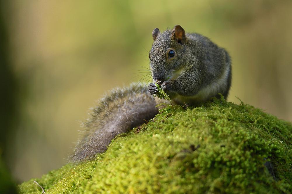 Pere David's squirrel, Sciurotamias davidianus, adult, Tangjiahe National Nature Reserve, Sichuan Province; China