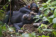 Chimpanzee <br /> Pan troglodytes<br /> Three year old baby grooming sub-adult<br /> Tropical forest, Western Uganda
