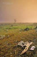 Scene out of the wild west with prairie grasslands and a cattle skull, Grasslands National Park, Saskatchewan, Canada