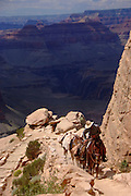 A guide leads a mule team around Cedar Ridge on the South Kaibab Trail in the Grand Canyon.