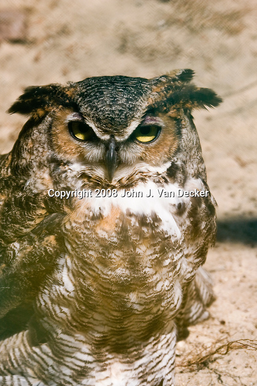 Great Horned Owl, Bubo virginianus...Photo taken at The Raptor Trust, one of the premier, privately funded wild bird rehabilitation centers in the United States. The Raptor trust is recognized as a national leader in the fields of raptor conservation and avian rehabilitation..