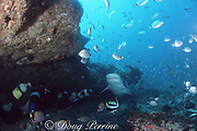 divers and tiger shark, Galeocerdo cuvier, off Durban, KwaZulu-Natal, South Africa ( Indian Ocean )