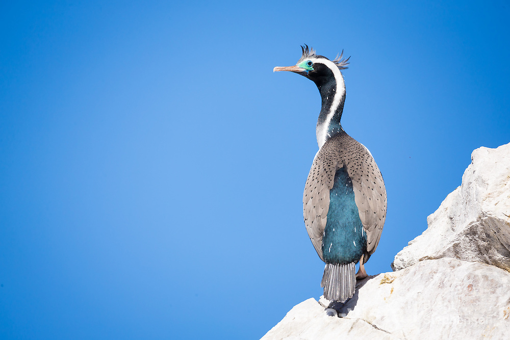 A spotted shag (Stictocarbo punctatus) in breeding plumage, with elaborate plumes, and spotted feathers on its wings, stands on the top of a rock near the breeding colony with a clear blue sky behind. Ohau Point, Canterbury, New Zealand. September.