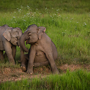 Two young Asian Elephants (Elephas maximus) playing in a grassland in Khao Yai national park, Thailand