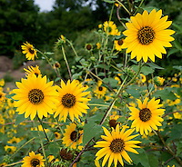 Sunflower (Helianthus annuus), Caldwell County, Texas