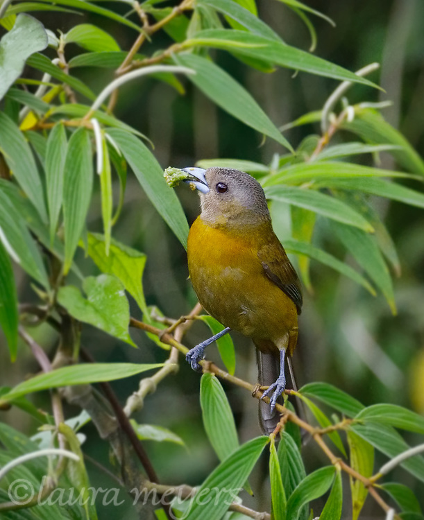 Passarini's Tanager Female foraging on bush with many leaves.