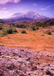 Mt. St. Helens and Wildflowers, Mt. St. Helens National Volcanic Monument, Washington, US