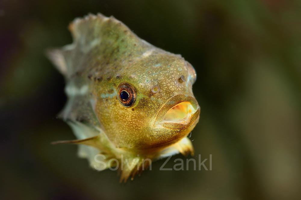 [captive] Lumpsucker or lumpfish (Cyclopterus lumpus) | Seehase (Cyclopterus lumpus), Multimar Wattforum in Tönning